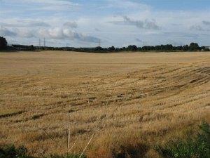 barley stubble